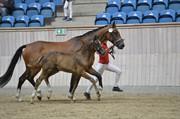 Horse for sale - KLOK'S FABIELLA