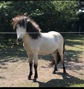 Horse for sale - Blús fra Lettir