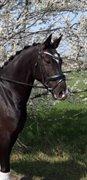 Horse for sale - LANGEMOSEGAARDS MONIQUE