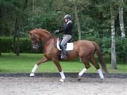 Horse for sale - SCARLET MAJLUND