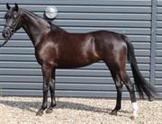 Horse for sale - TERPLING'S ZAPHIR