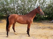 Horse for sale - Inessa