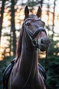 Horse for sale - Munkegårdens Kinoz