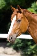 Hest til salg - HJORTHS WELTIANO