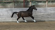 Horse for sale - AFRICAN PEANUT