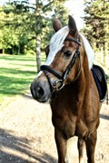 Horse for sale - HEDEGÅRD'S PRINSES