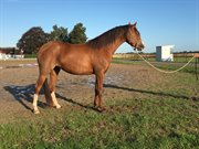 Horse for sale - ELMEGAARD'S AMORINE