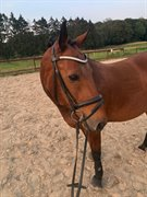 Horse for sale - Qeenshill Moccachino