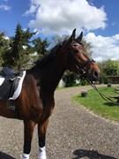 Hest til salg - ZAN FRANCISCO