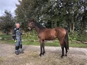 Hest til salg - KATANA