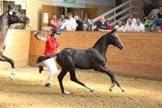 Hest til salg - MEMENYA ENGGÅRD