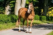 Horse for sale - Gordita