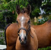 Horse for sale - YDUN FUGLEBJERG