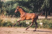 Horse for sale - Con Vince Z