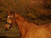 Hest til salg - Cantilene