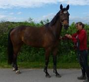 Horse for sale - CASHANDRA ROYAL