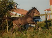 Horse for sale - Ridges Atlas