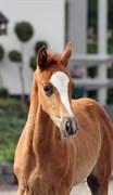Horse for sale - GØRKLINTGÅRDS SALERNO