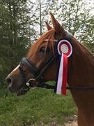 Horse for sale - SHANTO A LI