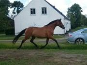 Horse for sale - HYGUM´S SUNDAY