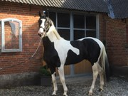 Horse for sale - MIDTJYDENS DARK DIAMOND