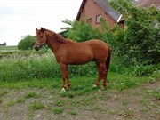 Horse for sale - TAI RAY