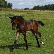 Hest til salg - Kirsebærgårdens Athene Royal