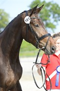 Horse for sale - SYVHØJEGÅRDS HAPPY-HAPPY