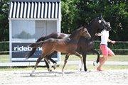 Horse for sale - Granly's Freddie Mercury