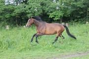 Hest til salg - CHIVAS-L