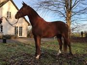 Hest til salg - BABETTE
