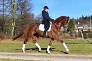 Hest til salg - MIDT-WEST SPECIAL