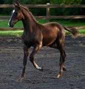 Horse for sale - LEISMANNS FELLINI