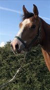 Horse for sale - Kristinelyst Bon Gucci
