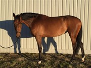 Hest til salg - J. Adria