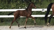 Horse for sale - Heiline's Floriano