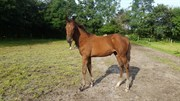Horse for sale - Kokkedals Freya