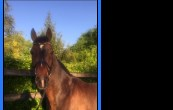 Horse for sale - DON BEAM