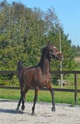 Horse for sale - TANHOLMS FERRARI