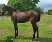 Hest til salg - KROGHOLM'S PATRIZIA