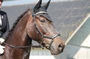 Horse for sale - KORDOM SCT. OLAV