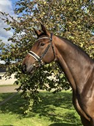 Horse for sale - Falcon von Rosing