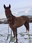 Hest til salg - PEARL'S GIRL NEXEN
