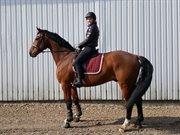 Horse for sale - OLFERT