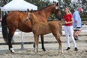 Horse for sale - NORD'S CONTESSA