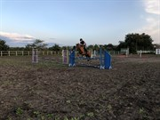 Horse for sale - Klelunds Dixie