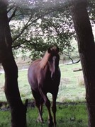 Horse for sale - INDIAN SUN