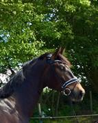 Horse for sale - NISSUMGAARDS OAKLEY