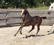 Horse for sale - Hoppeføl