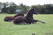 Horse for sale - Lajgårdens Wega